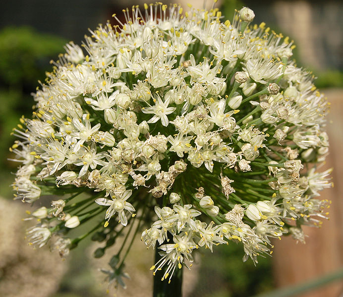 Onion Flower Head