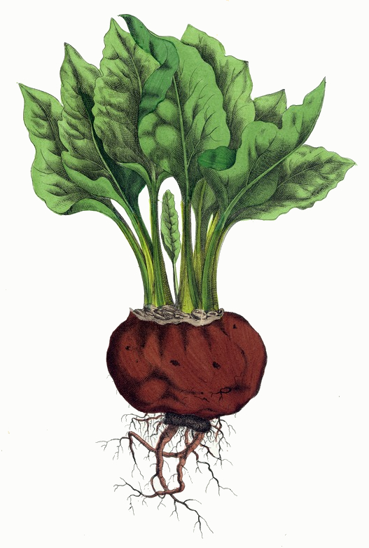 Beet Root Plant Drawing