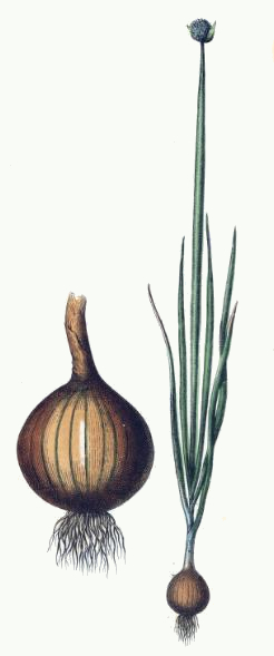 Onion Plant Drawing