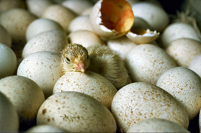 Chicks hatching USDA95c1973
