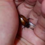 A poem a day - Haiku - Christmas beetle