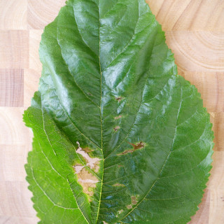 A poem a day - Haiku - Mulberry leaf