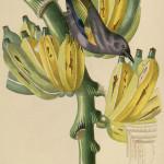 Banana, plantain. Musa paradisiaca. Illustration by Jean Theodore Descourtilz
